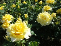 Gyoen_rose_1
