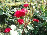 Gyoen_rose_3