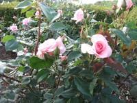 Gyoen_rose_7