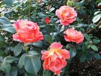 Gyoen_rose_8