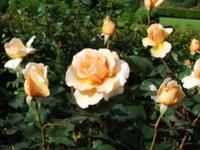 Gyoen_rose_13