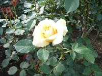 Gyoen_rose_9