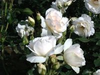 Gyoen_rose_20