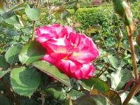Gyoen_rose_21