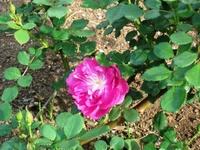 Gyoen_rose_24