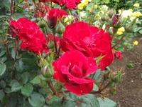 Gyoen_rose_03b