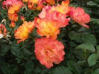 Gyoen_rose_06b