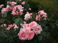 Gyoen_rose_07b