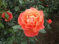 Gyoen_rose_08b