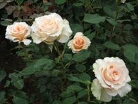 Gyoen_rose_09b