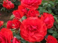Gyoen_rose_17b