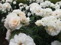 Gyoen_rose_20b
