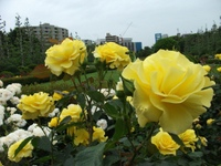 Gyoen_rose_22b