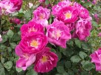 Gyoen_rose_24b