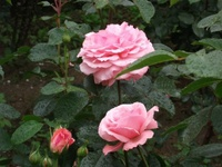 Gyoen_rose_34a