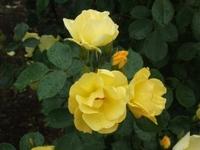 Gyoen_rose_61b