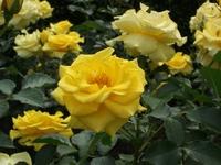 Gyoen_rose_02b