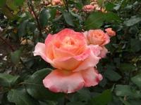 Gyoen_rose_40b