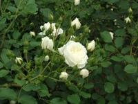 Gyoen_rose_58b