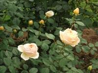 Gyoen_rose_65b