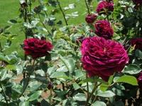 Gyoen_rose_66b