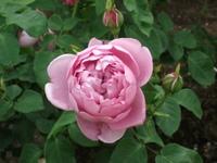 Gyoen_rose_67b