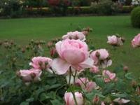Gyoen_rose_68a