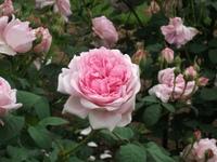 Gyoen_rose_68b