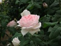Gyoen_rose_69b