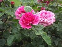 Gyoen_rose_70b