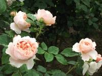 Gyoen_rose_71a