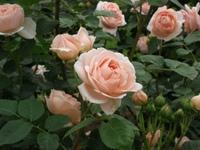 Gyoen_rose_71b