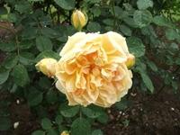 Gyoen_rose_72a