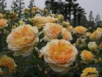 Gyoen_rose_72b