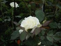 Gyoen_rose_73b