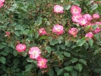Gyoen_rose_74b