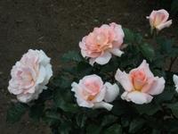 Gyoen_rose_77a