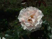 Gyoen_rose_77b