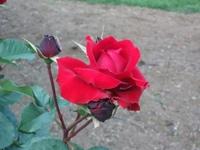 Gyoen_rose_84b