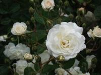 Gyoen_rose_86b