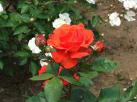 Gyoen_rose_88a