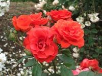 Gyoen_rose_88b