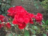 Gyoen_rose_95a