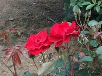 Gyoen_rose_95b