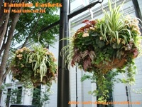 Hanging_baskets2