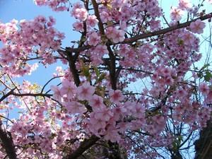 Sakura_110310a