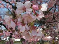 Sakura_110401a_3