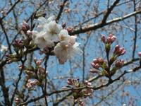Sakura_110401c_2