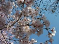Sakura_110401f