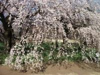 Sakura_110401g